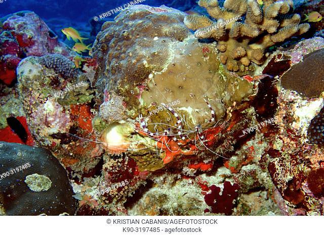 Banded coral shrimp or Banded boxer shrimp (Stenopus hispidus) hanging on corals, Indian Ocean, Maldives, South Asia