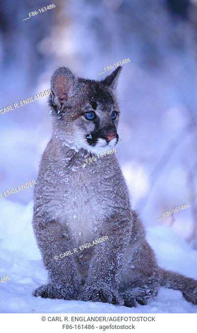 Baby Mountain Lion (female, 3 months old) (controlled / captive animal) sitting in winter snow, Felis concolor, Vermont, USA