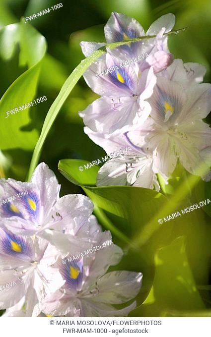 Common Water Hyacinth, Eichornia crassipes. Spikes of pale blue flowers of water plant considered invasive outside native habitat