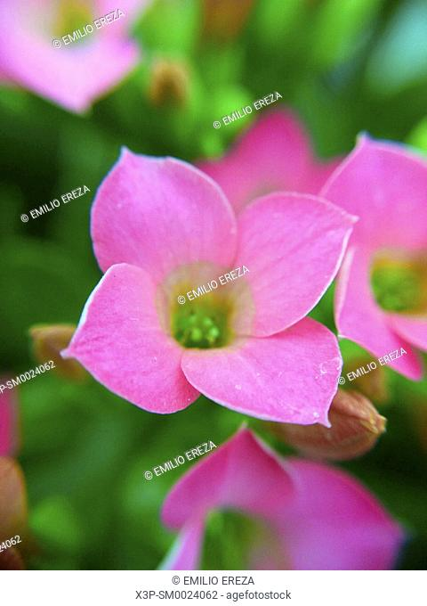 Macro of Kalanchoe flower