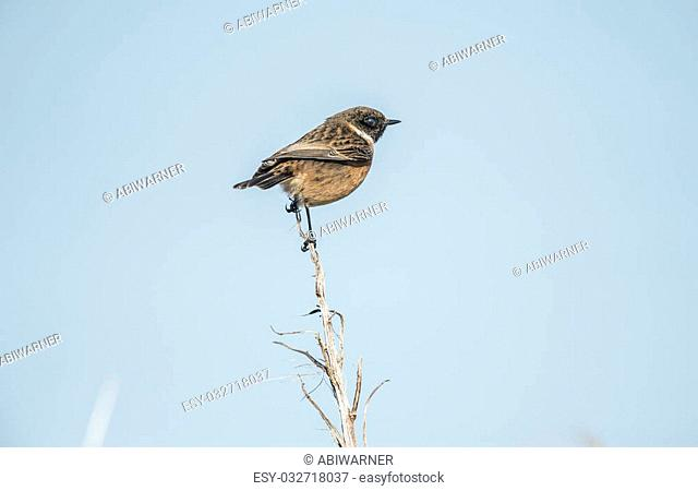 Stonechat, Saxicola rubicola, male, perched on a reed
