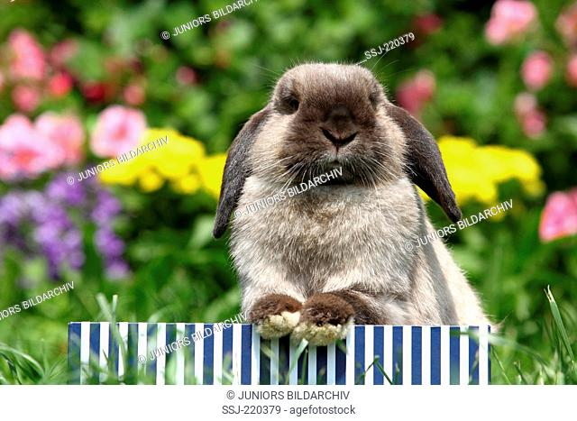 Dwarf Rabbit, Mini Lop. Adult sitting in a blue-and-white striped box in a garden. Germany