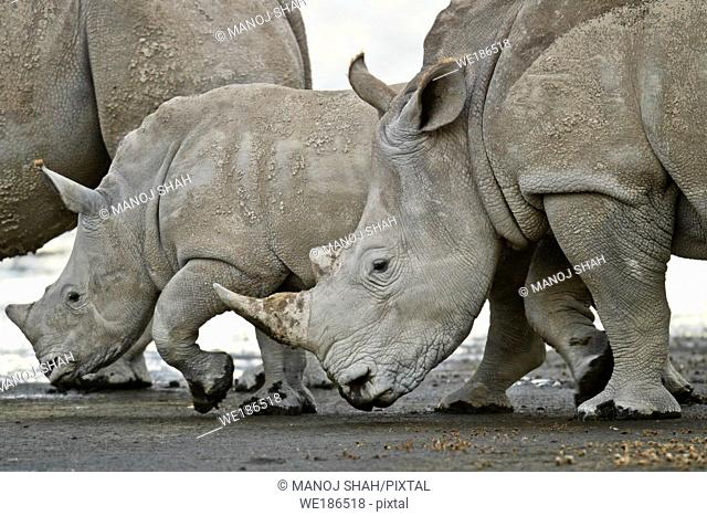 White Rhino mother with two young ones grazing at the Lake Nakuru shore
