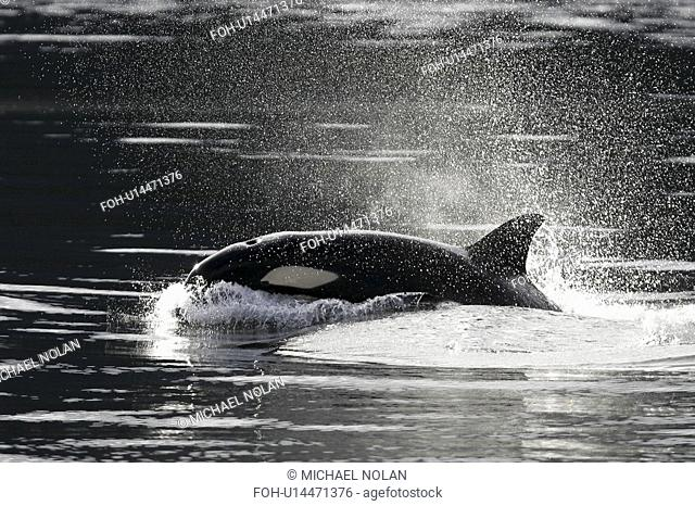 Orca Orcinus orca - Transient adult, surfacing. Chatham Strait, Southeast Alaska, USA. Pacific Ocean