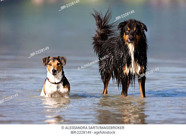 Jack Russell Terrier and Australian Shepherd standing in water, North Tyrol, Austria, Europe