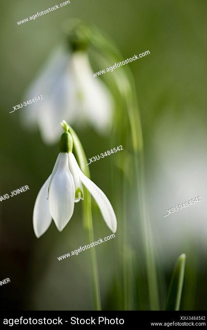 Soft focus close up of Snowdrop (Galanthus nivalis) flowers