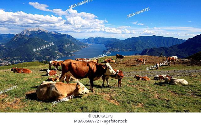 Cows on the alp Rescascia, Santa Maria Rezzonico, Lombardy, Italy