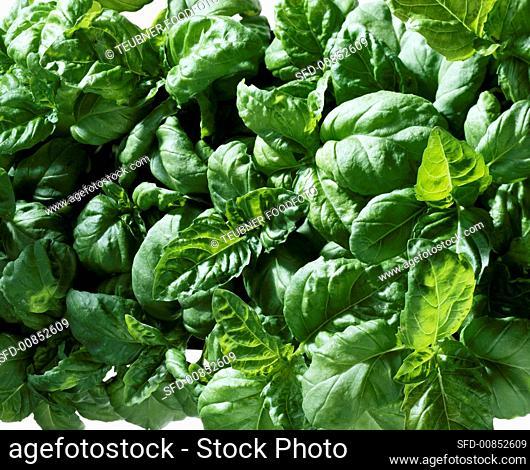 Basil (Ocimum basilicum ssp. Basilicum)