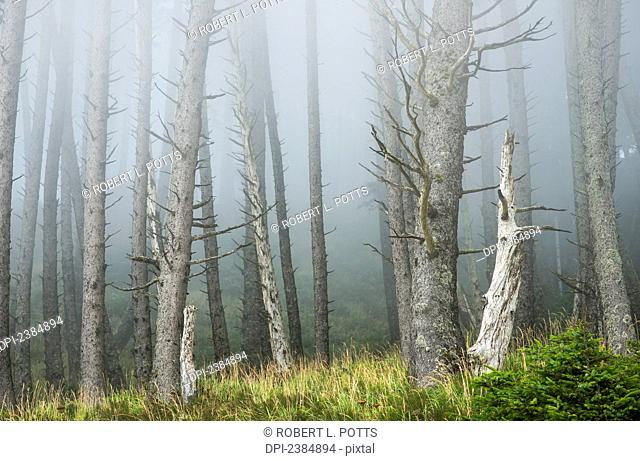 Fog softens the forest at Ecola State Park; Cannon Beach, Oregon, United States of America