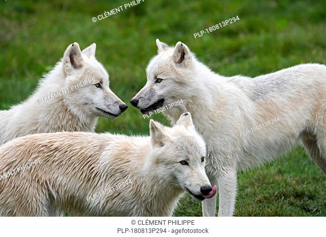 Close up of three Arctic wolves / white wolves / Polar wolf (Canis lupus arctos) wolf pack, native to Canada