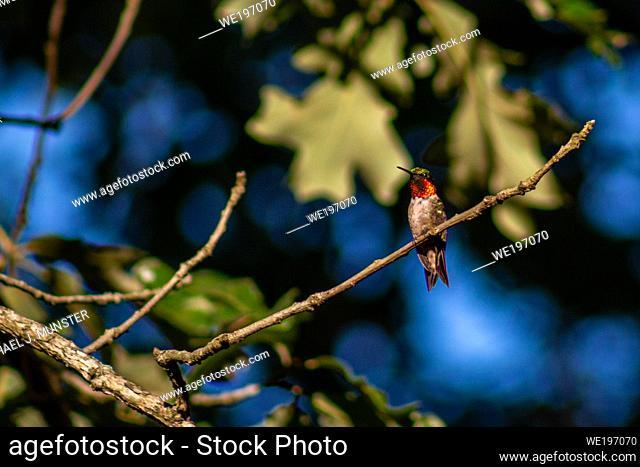Ruby-throated hummingbird sitting in a tree in backyard in Joplin, MO