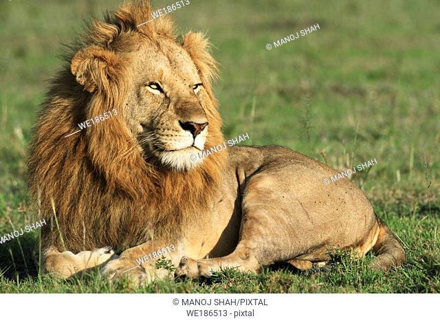 It isl late afternoon and the sleeping male lion has woken up, Masai Mara National Reserve, Kenya