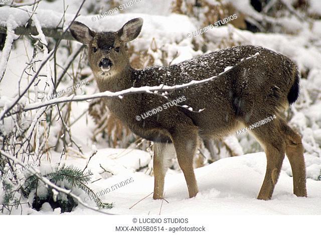 Deer in snow, Vancouver Island, British Columbia, Canada