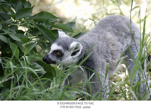 Lemur standing in forest, looking away