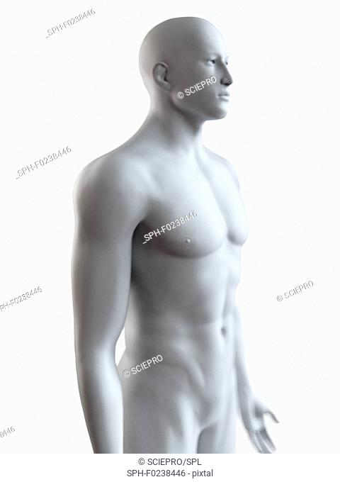 Illustration of a male body