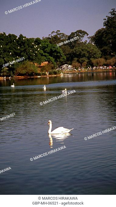 White Swan, Lake, Ibirapuera Park, Sao Paulo, Brazil
