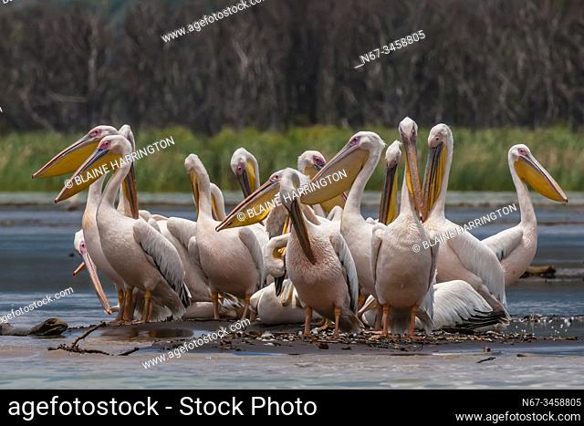 Great White Pelican, Nechisar National Park, Lake Chamo, Arba Minch, Ethiopia. Lake Chamo is one of the two largest Rift Valley lakes