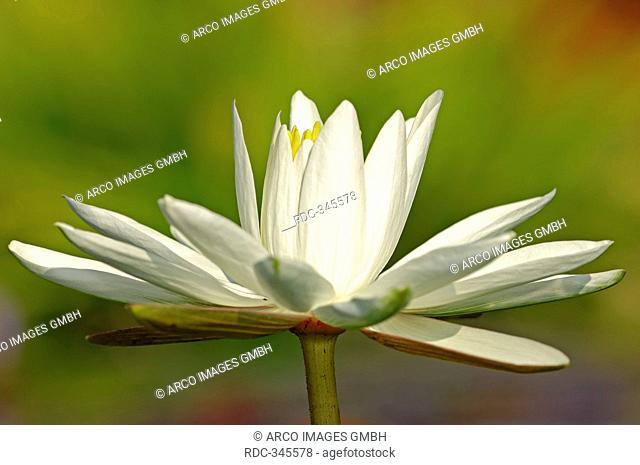White Egyptian Lotus / Nymphaea lotus / Tiger Lotus, White Lotus, Egyptian White Water-lily