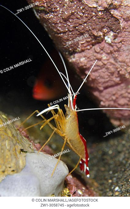 Hump-back Cleaner Shrimp (Lysmata amboinensis, Hippolytidae family), Ghost Bay dive site, Amed, east Bali, Indonesia