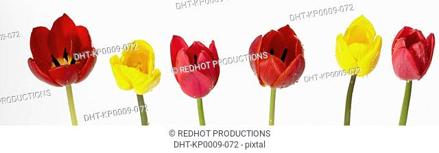 Six Coloured Tulips in a row