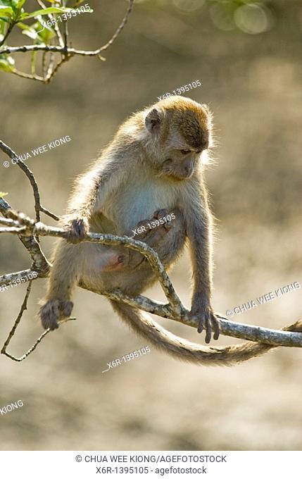 Long Tail Monkey Of Bako National Park Sarawak Malaysia