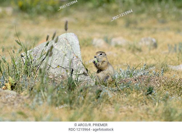 Long-tailed ground squirrel, Terkhiin Tsagaan Nationalpark, Mongolia, (Spermophilus undulatus)