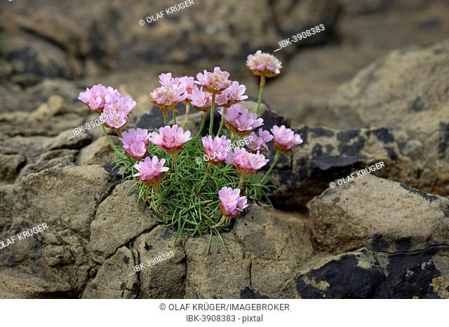 Thrift, Sea Thrift or Sea Pink (Armeria maritima) flowering, on rocks, Suðuroy, Faroe Islands, Denmark