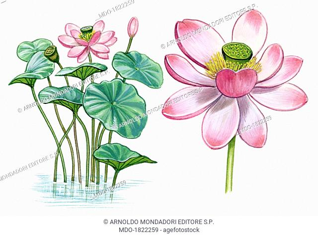 Lotus (Lotus Blomma, Nelumbo nucifera), by Giglioli E., 20th Century, ink and watercolour on paper. Whole artwork view. Drawing of the plant with leaves and...
