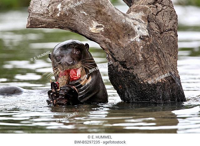 giant otter (Pteronura brasiliensis), feeding, Brazil