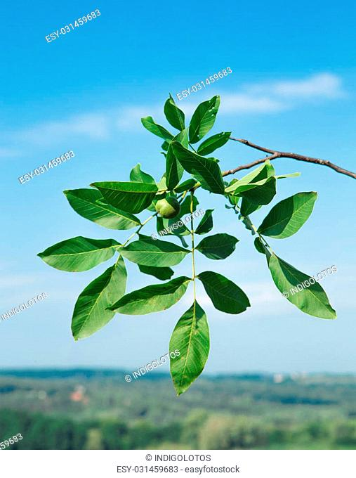 Green walnut on the branch on sky background