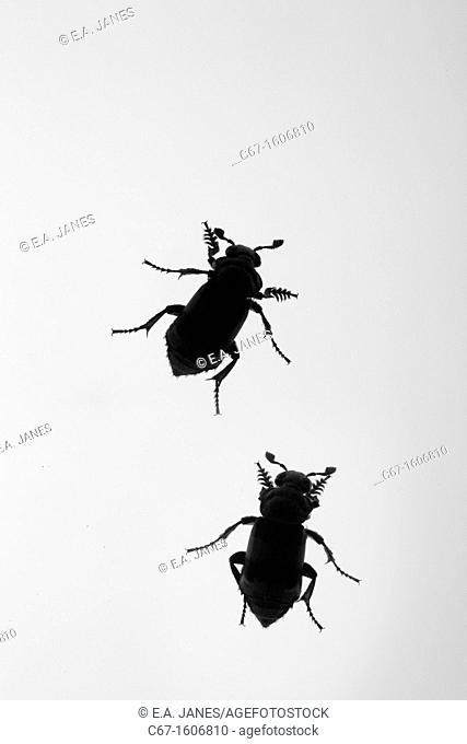 Sexton beetles Nicrophorus vespilloides