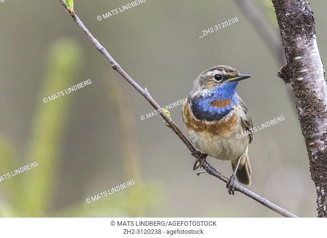 Bluethroat, Luscinia svecia, sitting in a birch tree in spring time, Gällivare county, Swedish Lapland, Sweden