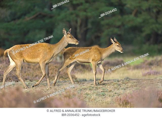 Red Deer (Cervus elaphus), hinds, Netherlands, Europe