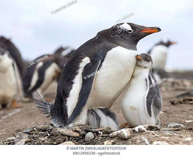 Gentoo Penguin (Pygoscelis papua), Falkland Islands. Adult with chick. South America, Falkland Islands, January