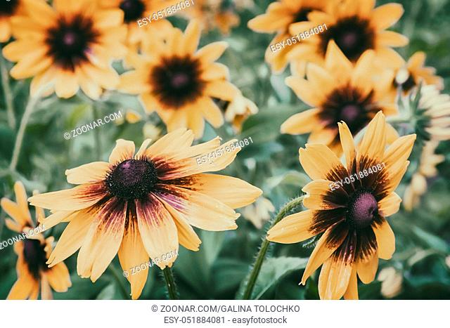 Beautiful large yellow with red flowers rudbeckia in the garden on a background of green leaves