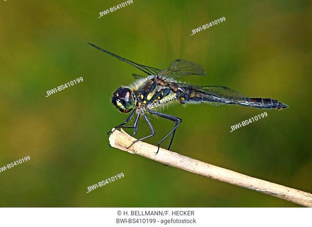 black sympetrum (Sympetrum danae), male on a stem, side view, Germany