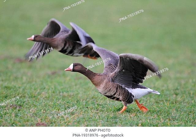 White-fronted goose Anser albifrons - Lower Rhine, Niederrhein, North Rhine-Westphalia, Nordrhein-Westfalen, Germany, Europe