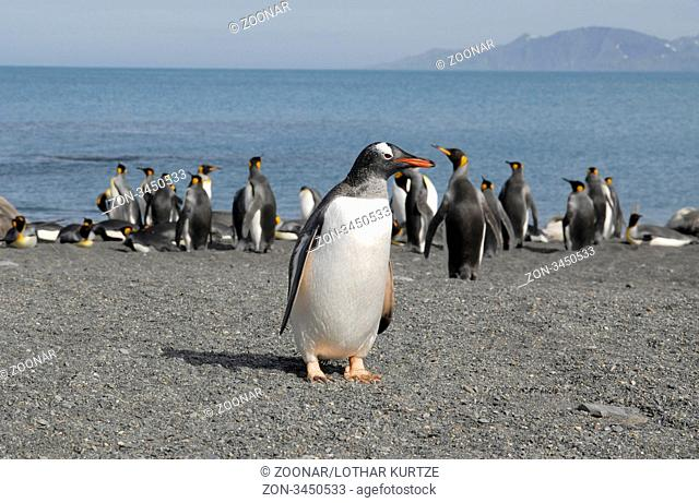 Gentoo Penguin Pygoscelis papua in front of King penguins at the beach, Gold Harbour, South Georgia