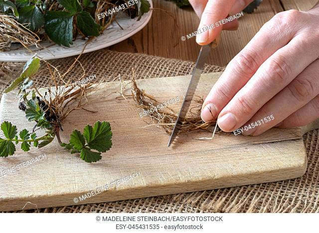 Hands cutting Herb Bennet roots with a knife, to prepare herbal tincture