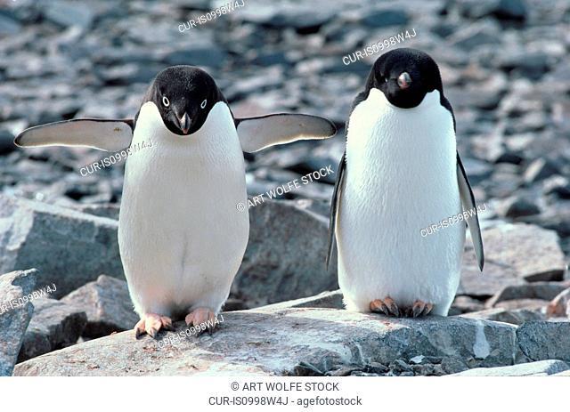 Adelie penguin pair, Antarctica