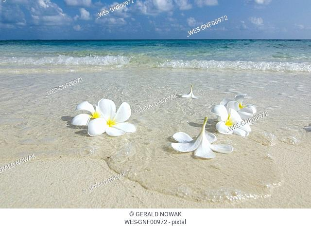 Maledives, Gan, Flowers on the beach