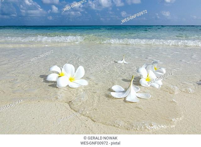 Maledives, Gan, Flowers on the beach