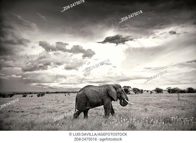 elephant in masai mara national park