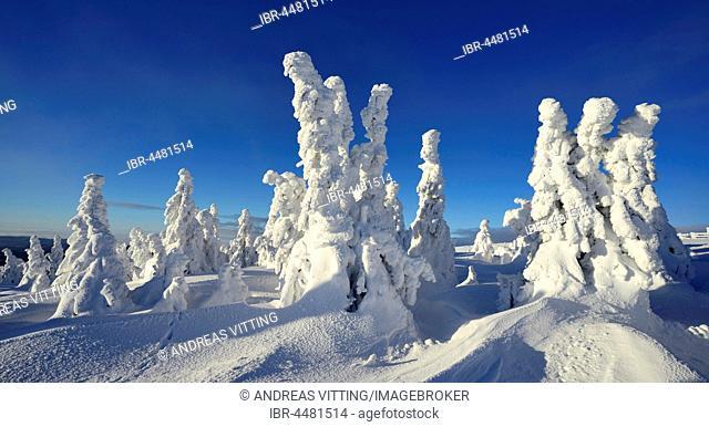 Winter on the Brocken, snow-covered pines, snow bent, Harz National Park, Saxony-Anhalt, Germany