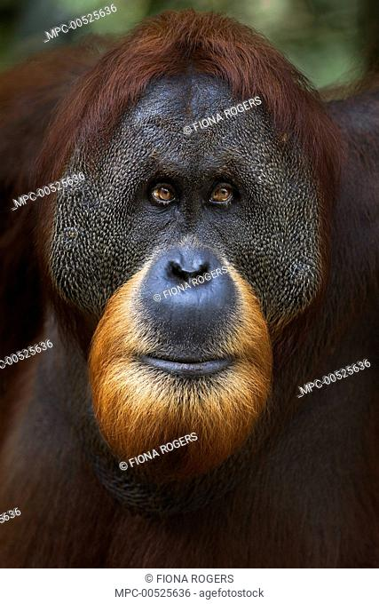 Sumatran Orangutan (Pongo abelii) twenty-six year old male, named Halik, Gunung Leuser National Park, Sumatra, Indonesia
