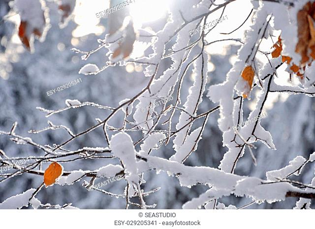 The tree branches coverd with white snow