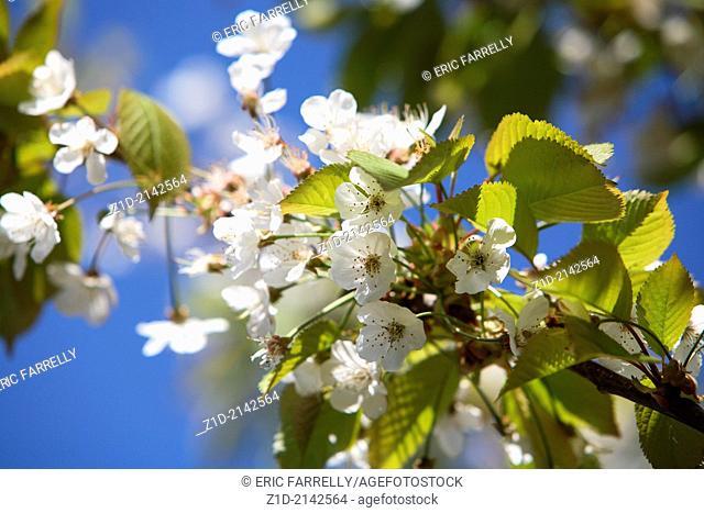 British fresh new spring blossom