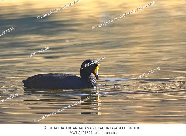 Giant coot (Fulica gigantea) sighted in its natural environment at 4000 masl in an Andean lagoon while swimming calmly. Peru