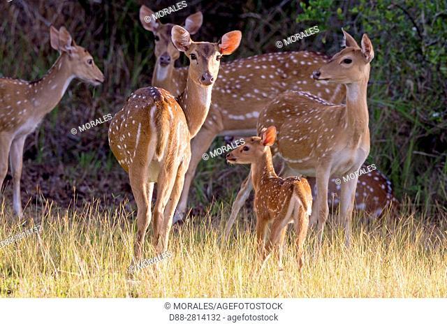 Sri Lanka, Northwest Coast of Sri Lanka, Wilpattu National Park, Chital or Cheetal or Chital deer, Spotted deer or Axis deer( Axis axis),