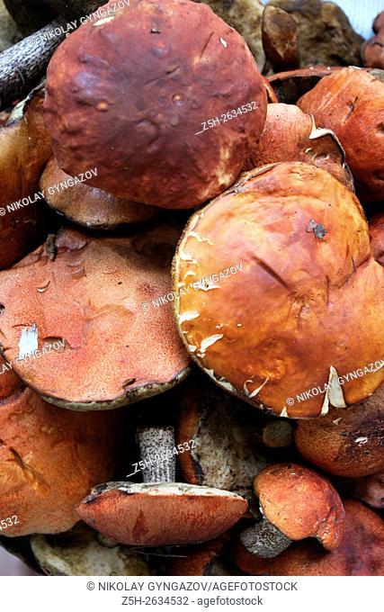 White mushrooms in the Western Siberia